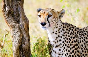 Cheetah, Tanzania.