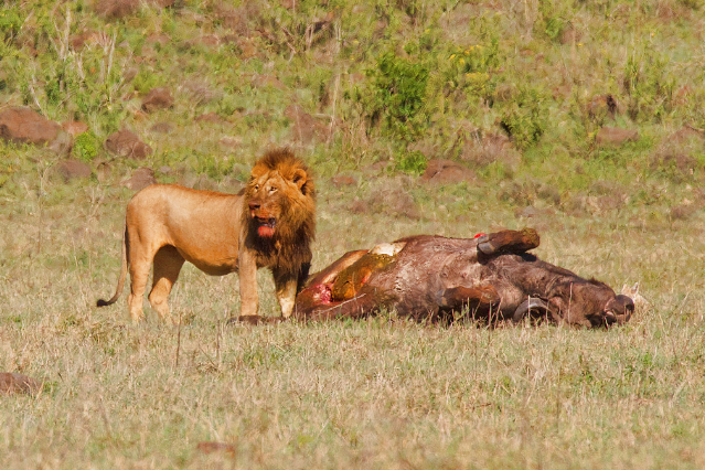 Lion at Ngorongoro