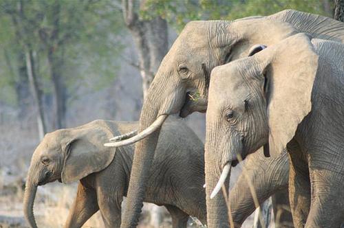 elephant safari zambia