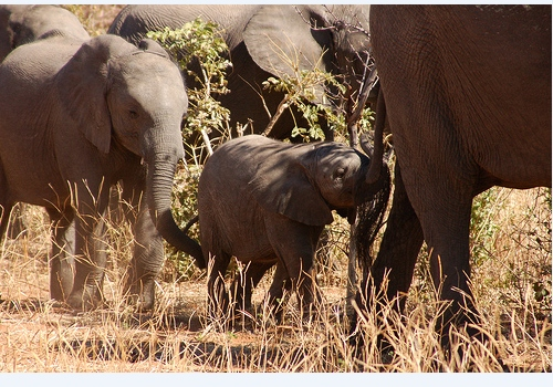 elephant safari botswana