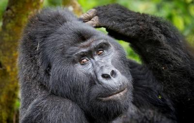 gorilla trekking 3 days tour uganda