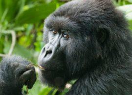gorillas of africa