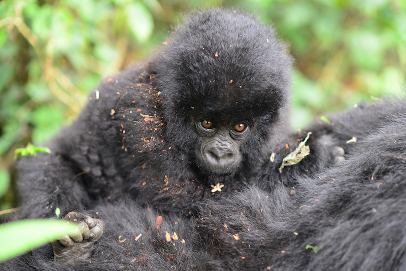 The ongoing 2018 Mountain Gorilla Census in Bwindi National park