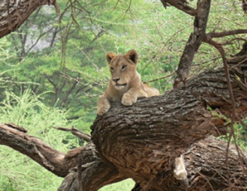 lake manyara lion safari