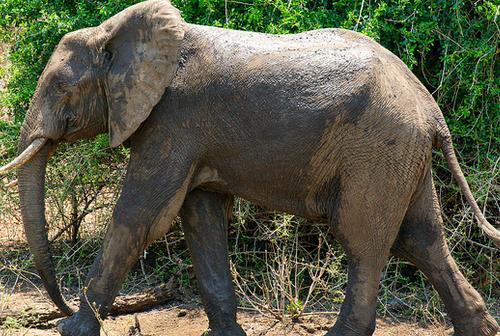 malawi elephant safari