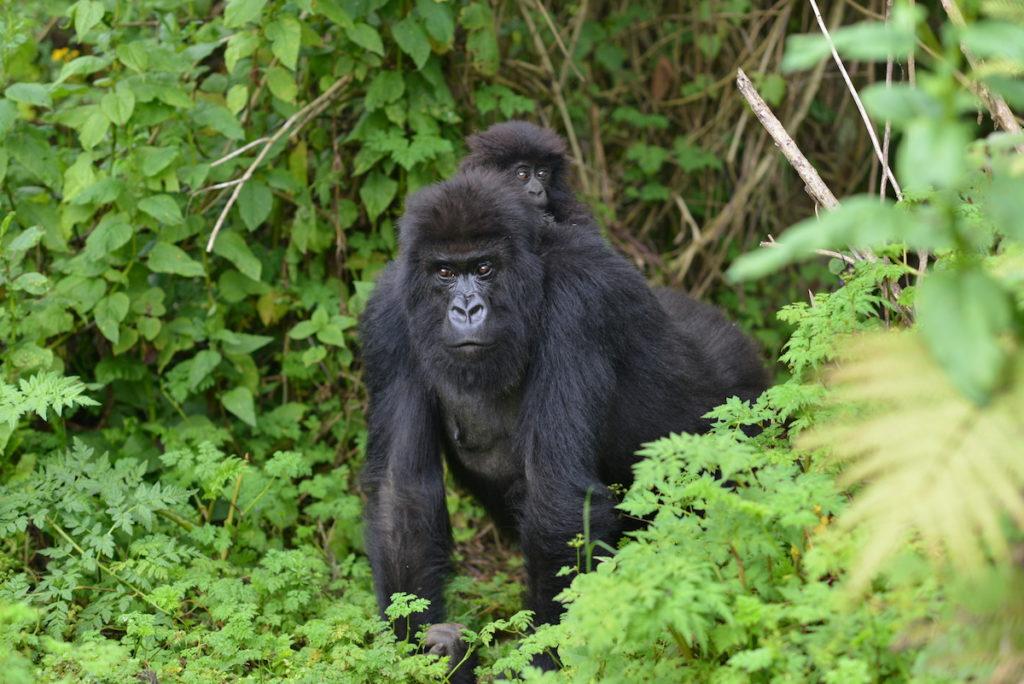 Mount Mgahinga Gorilla National Park Uganda