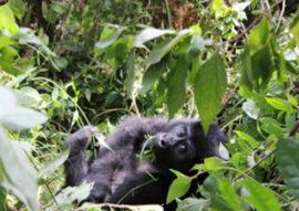 mountain gorilla tours