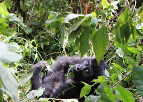 How to Book Discounted Uganda Gorilla Permits for 2018/19