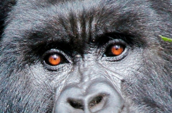 silverback gorilla in Rwanda