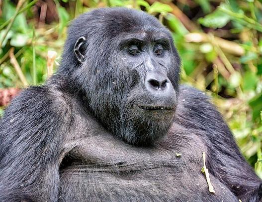Eco Tourism saving Mountain Gorillas in Africa