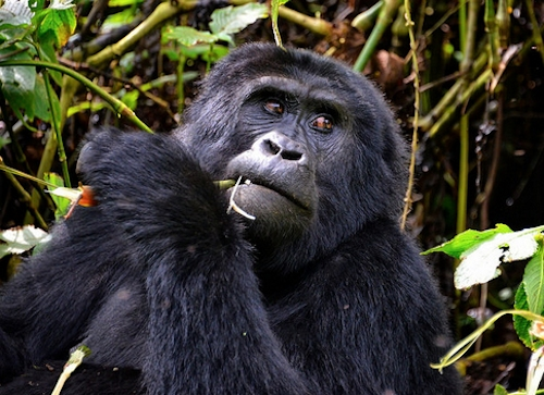 the mountain gorilla