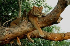 tree climbing lion Uganda safaris