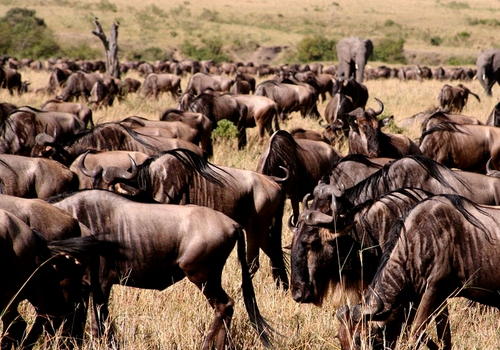 wildebeest tanzania safari