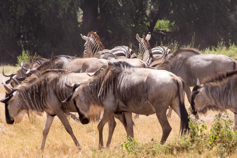 African safari holidays wildbeest