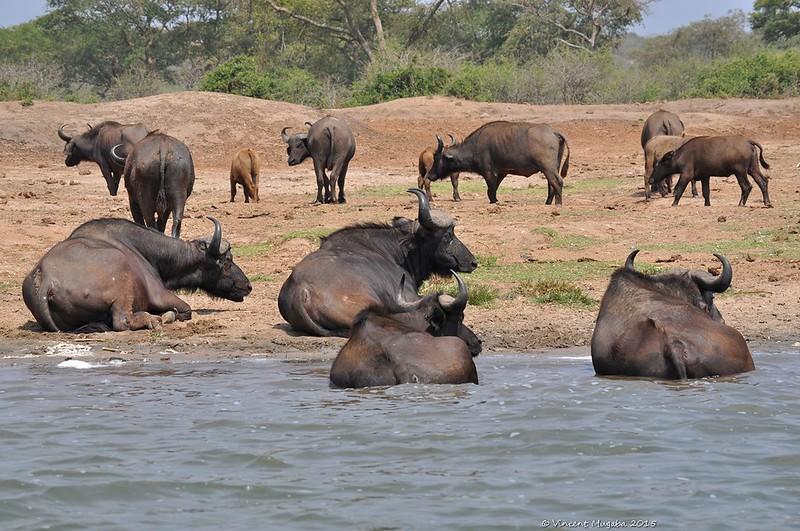 buffaloe safari uganda