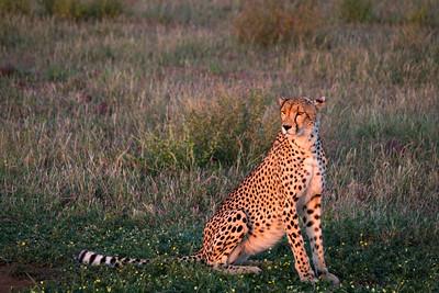 africa safaris cheetah