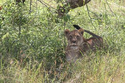 akagera national park lions