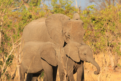 bostwana safari elephants