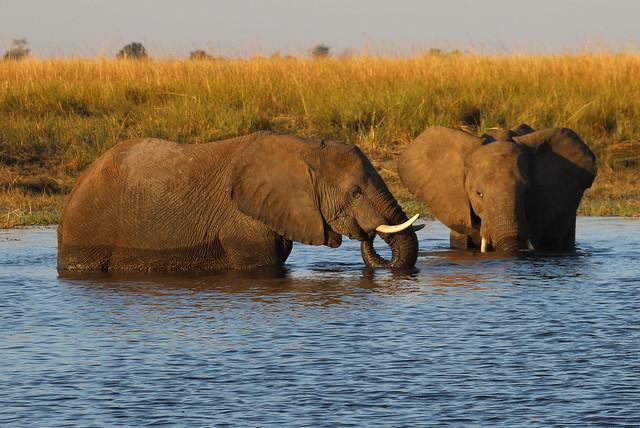 botswana elephants safari