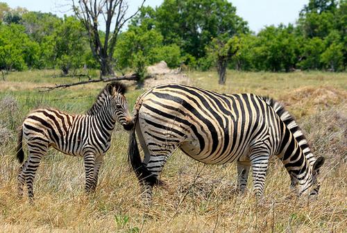 botswana safari zebras