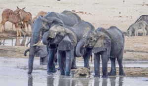 Elephants at the watering place in Hwange National Park.