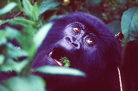 Gorillas Karisimbi Rwanda
