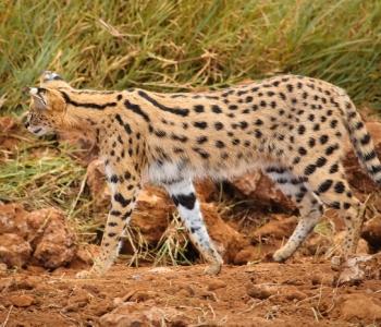cats safari