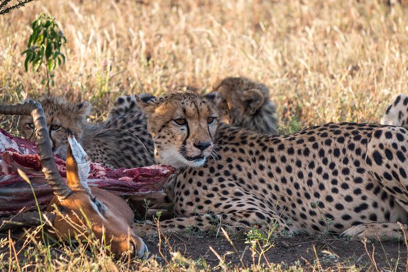cheetah botswana safaris