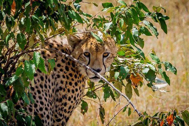 cheetah safari Kenya