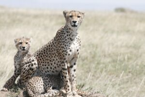 cheetah safari tanzania