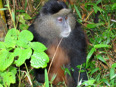 golden monkeys rwanda