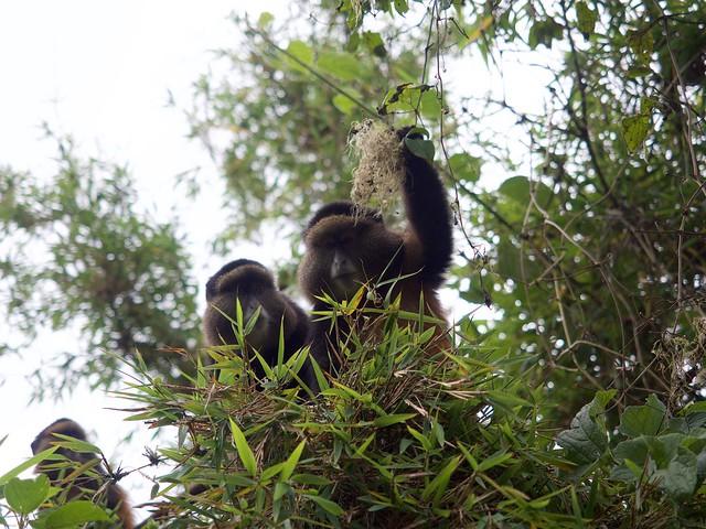 Rwanda Golden Monkey Treks
