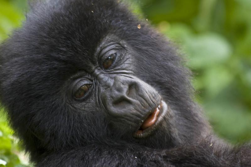 gorilla tour cost