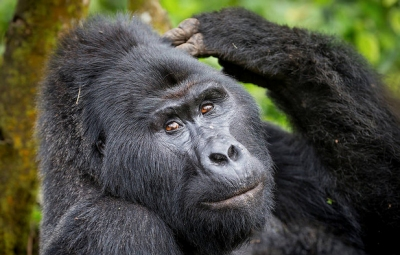 3 Day Gorilla Safari Uganda, Bwindi Trek