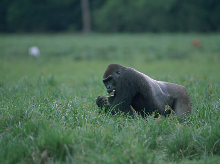 Types of Gorillas