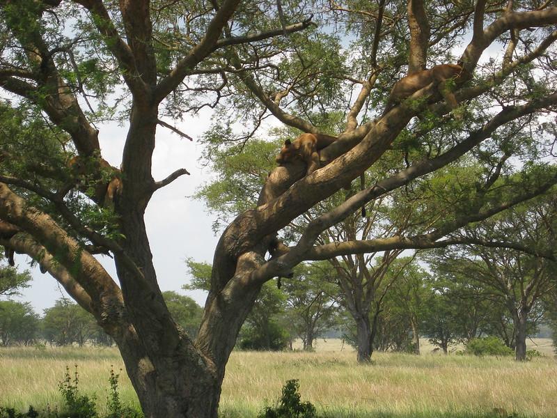 wildlife safari lions
