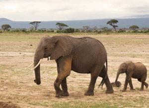 Elephants Tanzania.