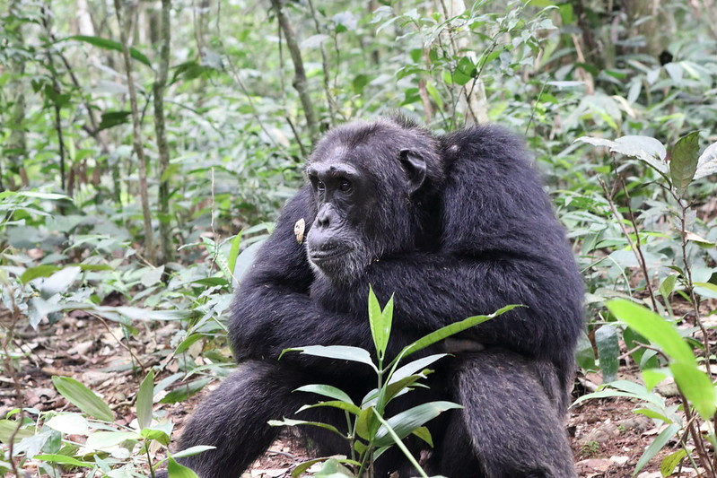 kibale chimpanzee safari uganda