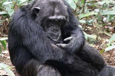 kibale national park chimpanzee