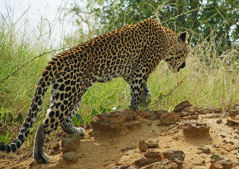 leopard safari uganda