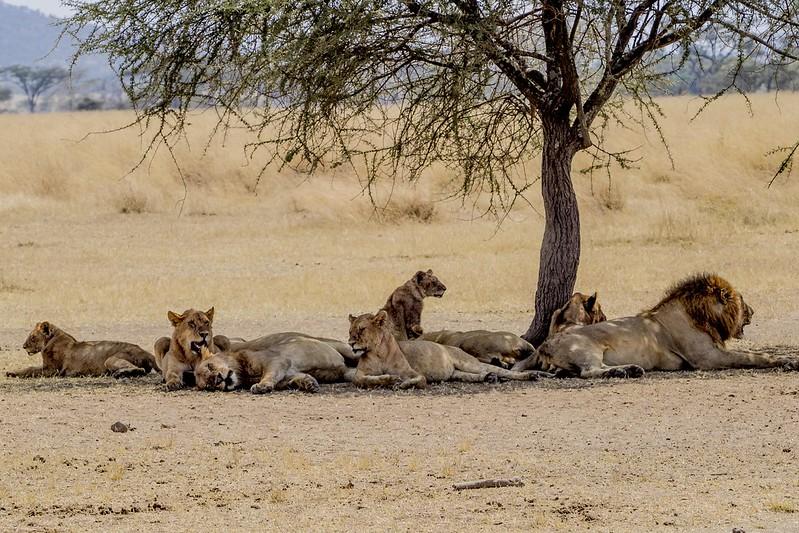 lions of masai mara