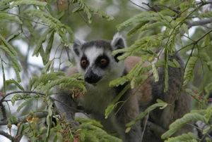 madagascar primates