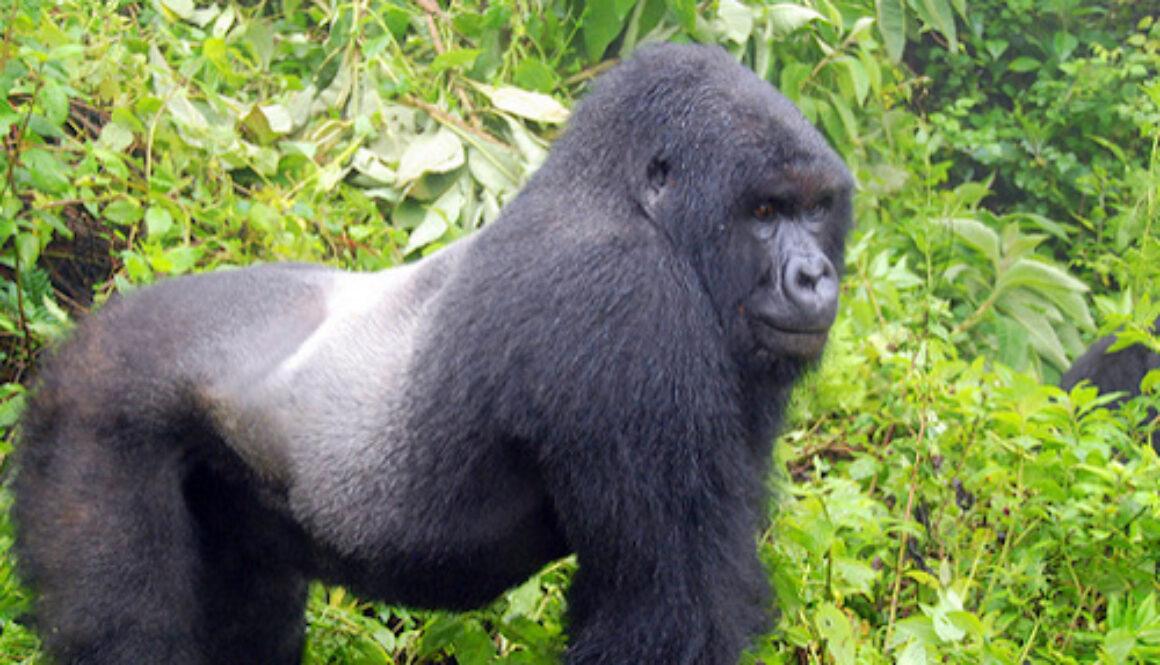 mountain gorilla habituation