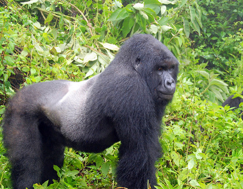 mountain gorilla habituation