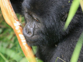 mountain gorillas africa