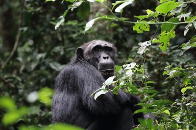 nyungwe national park chimpanzee