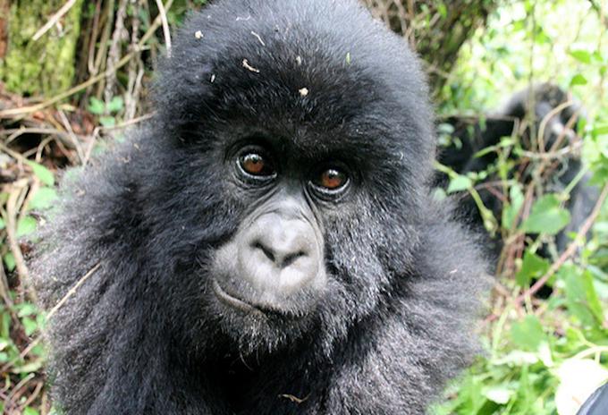 Rwanda Gorilla Permits, Booking Information & Cost