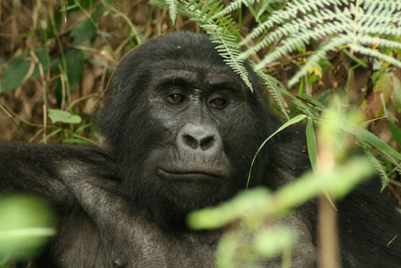 Rwanda gorilla trekking cost