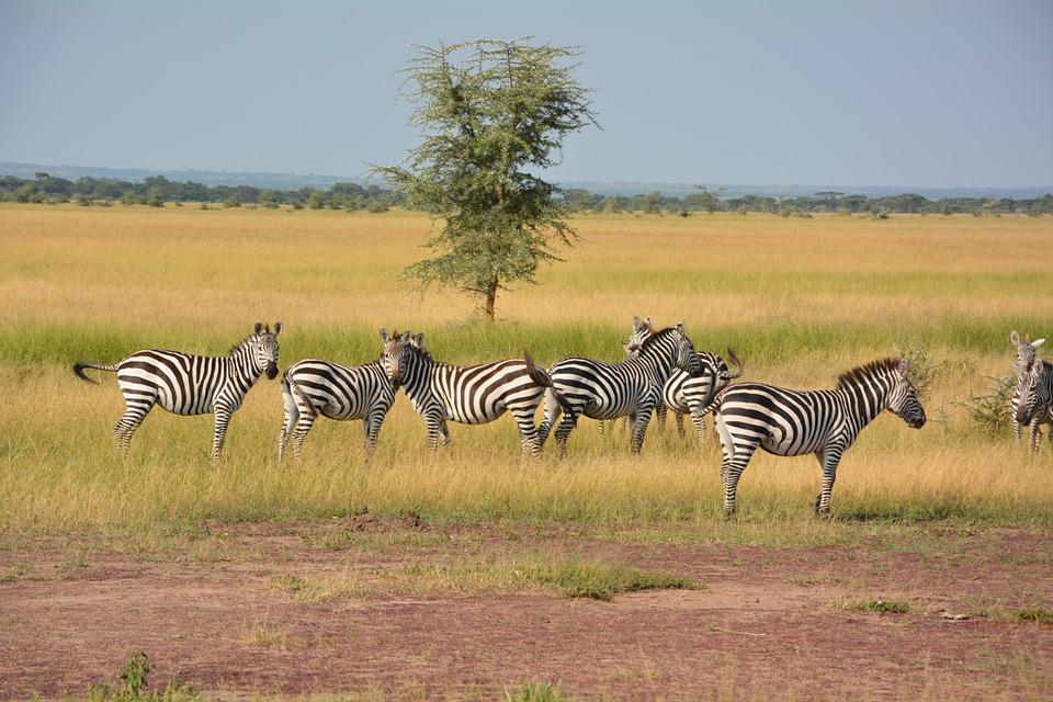 serengeti safari zebras