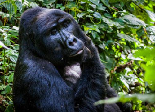 silverback gorilla tours